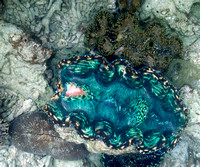 2014 - TJ Palau Giant Clams