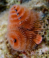 2012 - BJ Bonaire Christmas Tree Worms